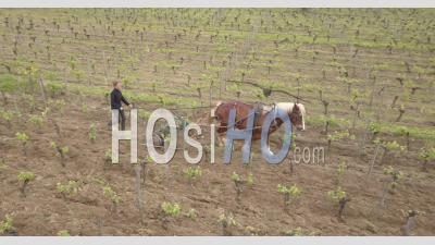 Horse Working In Vineyards Of Saint Emilion, Video Drone Footage