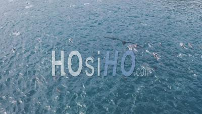 Huge Pod Of Dolphins And Seals - Video Drone Footage