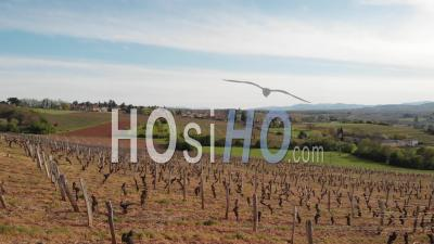 Vineyards And Meadow In Beaujolais - Video Drone Footage
