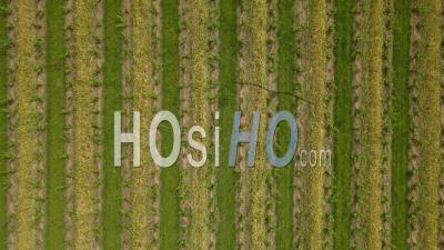 Aerial Drone View Of Vineyard Fields From The Top, Bordeaux Vineyard