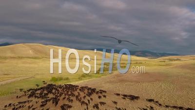 Vue Aérienne D'un Troupeau De Bétail Sur Les Plaines Du Montana - Vidéo Drone