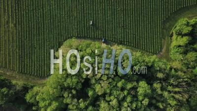 Tracteurs Travaillant Dans Un Vignoble, Vidéo Drone