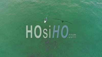Vue Aérienne Sur Les Dauphins Nageant Avec Un Paddleboarder Dans L'océan Près De Malibu, Californie - Vidéo Drone
