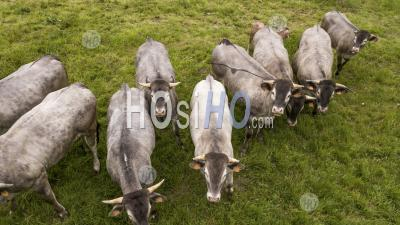 Aerial View Bazadaise Cows And Calves Daisy In The Meadow - Aerial Photography