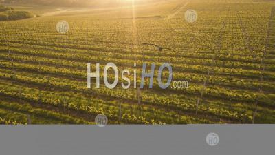 Aerial View Of A Green Summer Vineyard At Sunset - Aerial Photography
