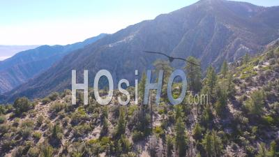 Aerial Over Pinyon Pine Trees Along A Ridge In The Eastern Sierra Mountains Near Lone Pine And The Owens Valley California. - Drone Point Of View