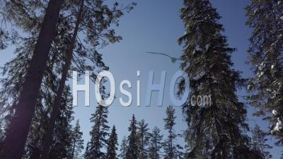 Forêt Enneigée De Sapins, Lumière Ensoleillée Et Ciel Bleu, Tackasen, Suède - Vidéo Drone