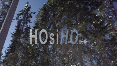 Snowy Forest Of Fir Trees, Sunny Light And Blue Sky, Tackasen, Sweden - Video Drone Footage