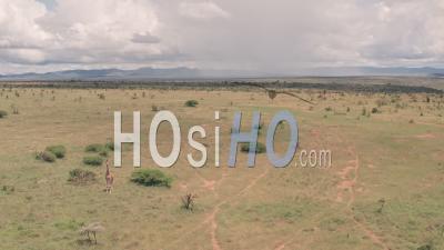 Vue Aérienne Par Drone Vue De Girafe Dans La Savane Africaine Et Paysage De Plaines à Laikipia, Kenya