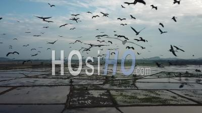 Aerial Thousand Of Asian Openbill Fly Freely At Sky - Video Drone Footage