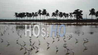 Flock Of Egrets In Water With Background Coconut Tree - Video Drone Footage
