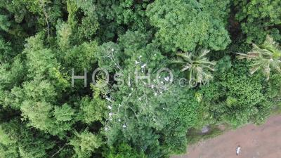 Asian Openbill Fly Over The Green Bush At Permatang Rawa - Video Drone Footage