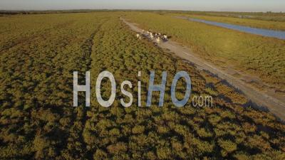 Camargue Horses, Aerial Video Drone Footage, Camargue, France