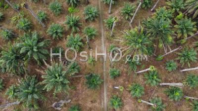 Aerial Look Down Rural Path In Dry Oil Palm Tree - Video Drone Footage