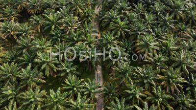 Vol Aérien Au-Dessus Du Chemin Rural Dans La Plantation De Palmiers - Vidéo Par Drone