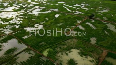Fly Over Green Paddy With Reflection Sun Light - Video Drone Footage