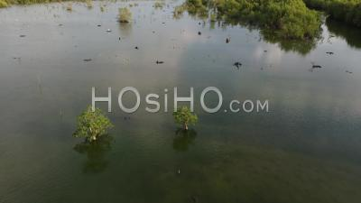Fly Over Mangrove Swamp Which Habitat Of Birds - Video Drone Footage