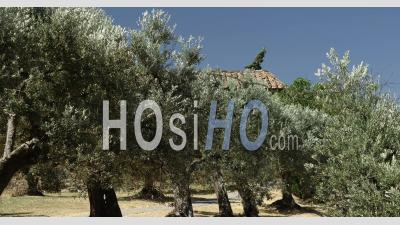 Mediterranean Olive Trees On Summer - An Old Plantation Of Olive Trees In The Medieval Village In Tuscany