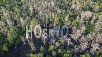 Aerial Sliding Move The Dry Bare Mangrove Tree - Video Drone Footage