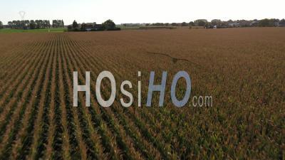 Field Of Corn Burned By The Sun Filmed By Drone